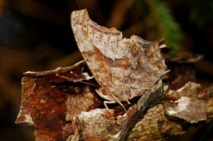 butterfly camouflaged