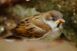 Sparrow fluffed up to keep warm in the cold